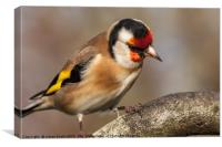 European goldfinch bird close up  , Canvas Print