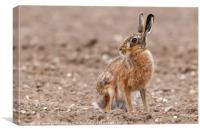 Stunning large wild brown european hare in the plo, Canvas Print