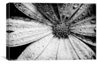 Osteospermum petals black and white with water, Canvas Print