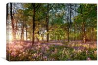 Early sunrise in English bluebell forest, Canvas Print