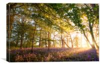 Sunrise in bluebell forest woodland, Canvas Print