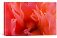 Red Paeonia flower head super close up, Canvas Print