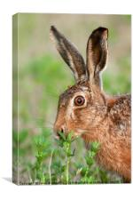 Wild brown hare close up eating, Canvas Print