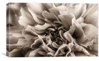 Coreopsis Flower head in sepia close up, Canvas Print