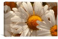 Oxeye wild daisys close up with morning dew drops, Canvas Print