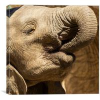 Young African Elephant, Canvas Print