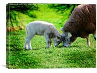 young lamb in summer, Canvas Print
