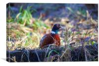Pheasant in the wild, Canvas Print