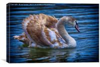 Young Swan, Canvas Print