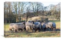 Swaledale sheep | Dinner time, Canvas Print