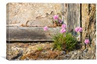 Cornish Thrift in an old wall, Canvas Print