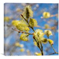 Spring - pussy willow in the sunshine, Canvas Print