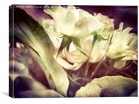 Pure. white Roses., Canvas Print