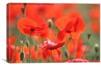 Poppies in the sunshine, Canvas Print