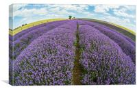 Lavender field, Canvas Print