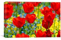 Beautiful red tulips, Canvas Print