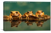 Three Peacock tree frogs (Leptopelis vermiculatus), Canvas Print