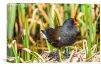 Common moorhen (Gallinula chloropus) on a nest., Canvas Print