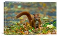 Red squirrel in the park., Canvas Print