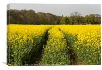 Wirral Rapeseed Beauty , Canvas Print