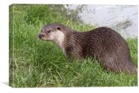 Otter (Lutra lutra)   , Canvas Print