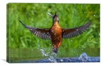 kingfisher (Alcedo atthis) , Canvas Print
