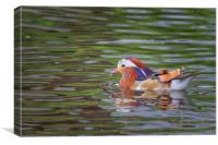 Mandarin duck    , Canvas Print