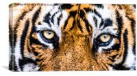 A close eye contact with the Royal, Canvas Print