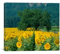 Sunflowers and Tree Dordogne France. , Canvas Print