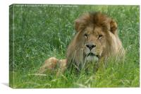 Male African Lion , Canvas Print