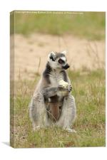 Ring Tail Lemur baby and it's mother., Canvas Print