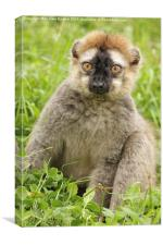 Red Fronted Lemur, Canvas Print