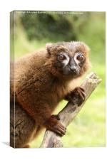 Red Bellied Lemur on a tree, Canvas Print