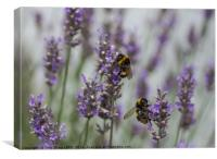 Bees Amongst the Lavender, Canvas Print