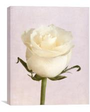 White Rose, Canvas Print
