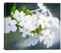 White Phlox Painting, Canvas Print
