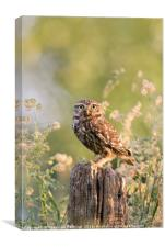 The Little Owl, Canvas Print