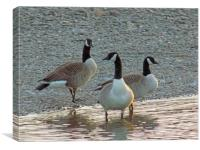 canadian geese, Canvas Print