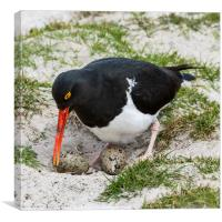 Magellanic Oystercatcher At The Nest (Haematopus), Canvas Print