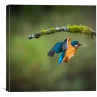 Kingfisher in flight with fish, Canvas Print