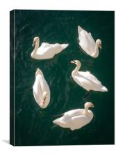 Bevy of Swans, Canvas Print