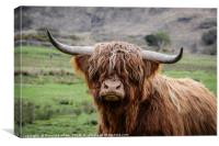Highland Cow (or Coo) Near Corran , Canvas Print