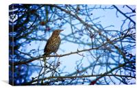 Song Thrush sitting in a tree during Winter, Canvas Print