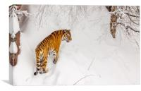 A tiger in the snow, Canvas Print
