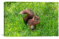 Red Squirrel., Canvas Print
