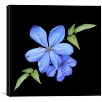 Clematis in the garden, Canvas Print