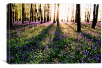 Shadowy Bluebell Woods, Canvas Print