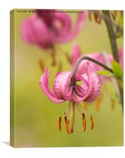 Pink Lilly, Canvas Print