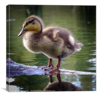 Duckling in choclate caramel, Canvas Print