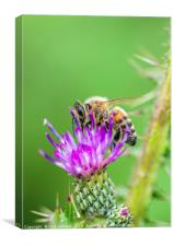 Honey Bee on a Thistle Flower, Canvas Print